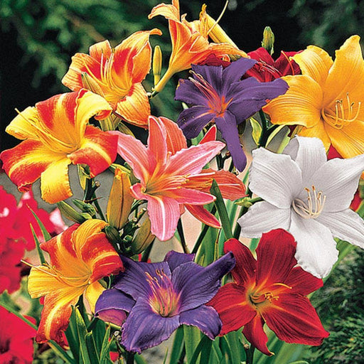 Day Lily Open in Early Morning and Wither During The Following Night (6 Bulbs) Mix