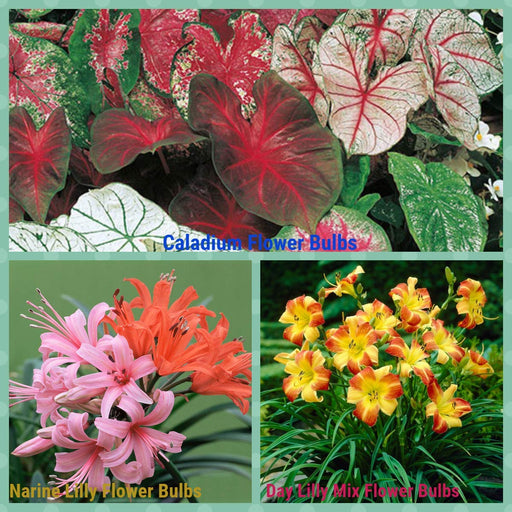 Flower Bulbs Sowing Pack Bloom Time Summers 2021 Pack 3 Varieties (9 Bulbs)( 3 Caladium, 3 Narine Lily, 3 Day lily)