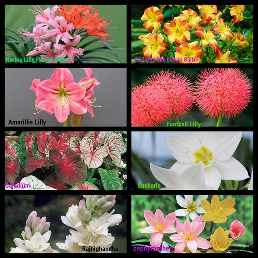 Flower Bulbs Sowing Pack Bloom Time Summers 2020 Superb Flowers 8 Varieties (80 Bulbs)