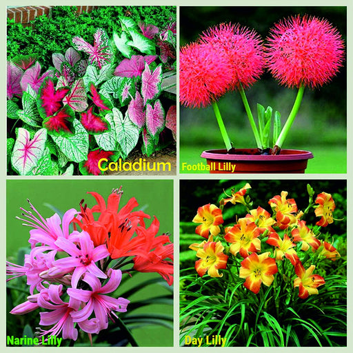 Summer Bloom 21 Flower Bulbs Super Saver Pack Many Flowers Your Garden This Season 4 Varieties (20 Bulbs) (5 bulbs Each) Caladiums, Day Lily, Football Lily, Narine Lily