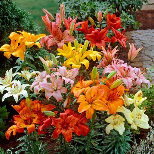 Oriental lily / Lilium flower - oriental lilies are the most popular garden lily varieties - Available in 5 Colour