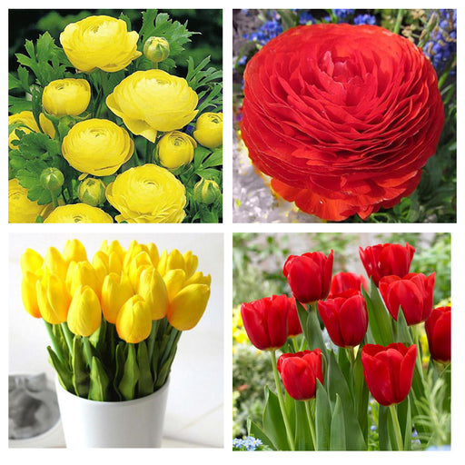 Ranunculus and Tulip Red and Yellow Combo ( 8 Bulbs)