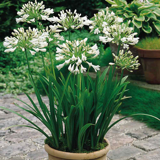 Agapanthus / Queen of the ocean flower bulbs (2 Bulbs) - White