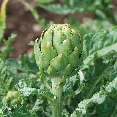 Artichoke Seeds Cynara Scolimus Carciofo English Exotic Vegetable Seeds – 1 Gram Seeds