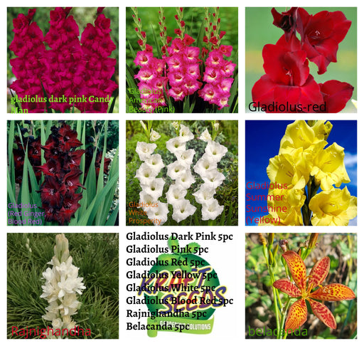 Glorious Gladiolus Combo Pack - 40 Bulbs PackGladiolus Dark Pink 5pc Gladiolus Pink 5pc Gladiolus Red 5pc Gladiolus Yellow 5pc Gladiolus White 5pc Gladiolus Blood Red 5pc Rajnighandha 5pc Belacanda 5pc