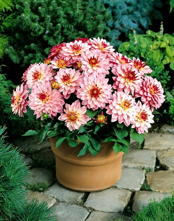 Dahlia Flower Bulb, Variety Salvador, Holland Produced, All Season Continuous Flowering Bulb for Garden Lovers (Pack of 1 Bulb)