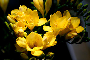 Italian Freesia Fragrance oil