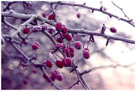 Winterberry Wonder (type) Fragrance oil