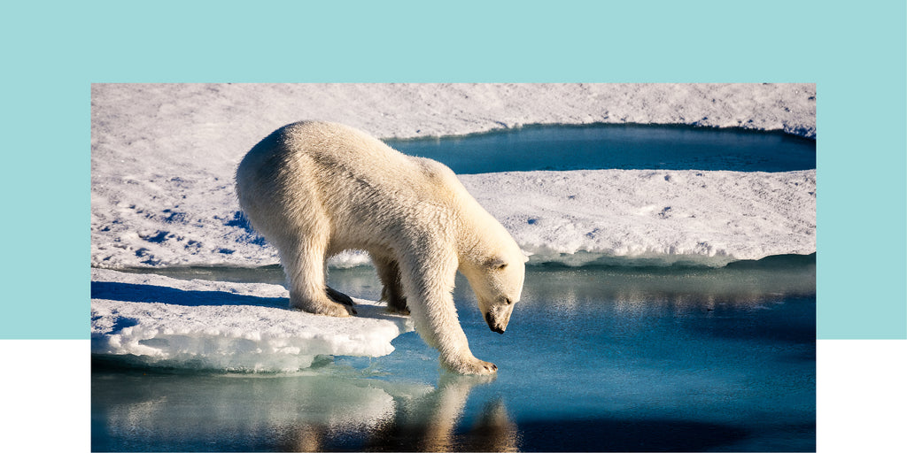 Save the Polar Bears | Emmett's Wildlife Initiative