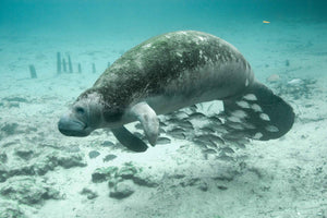 Save Manatees | Emmett's Wildlife Initiative