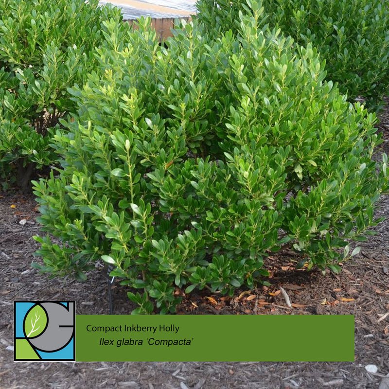 Compact Inkberry Holly | Ilex glabra 'Compacta'