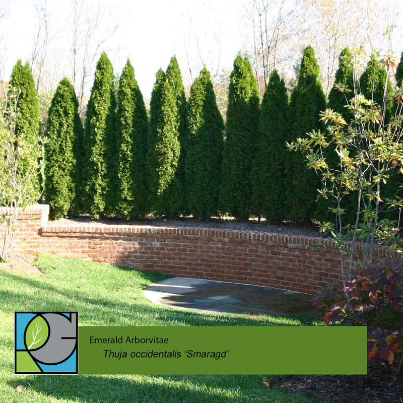Emerald Arborvitae | Thuja occidentalis 'Smaragd'
