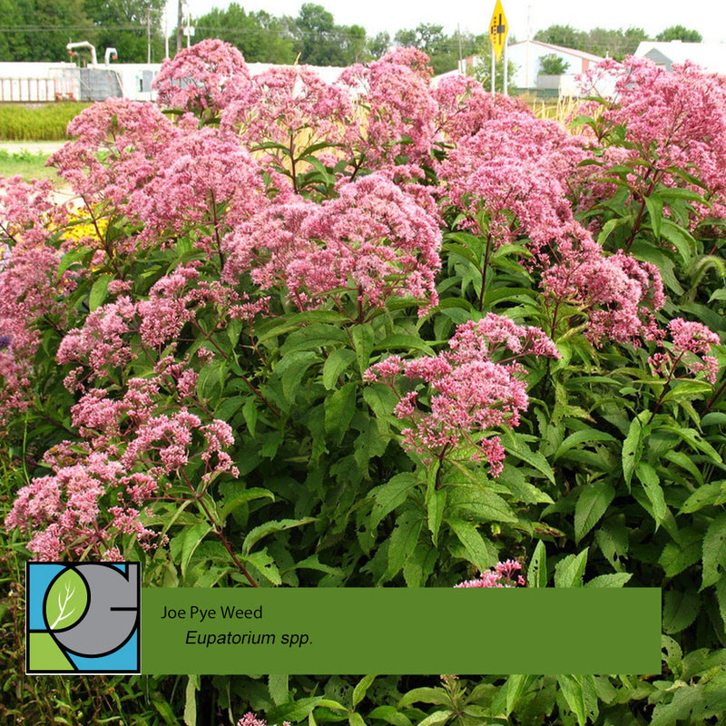 Eupatorium  | Joe Pye Weed