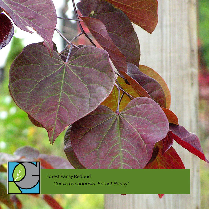 Forest Pansy Redbud | Cercis canadensis 'Forest Pansy'