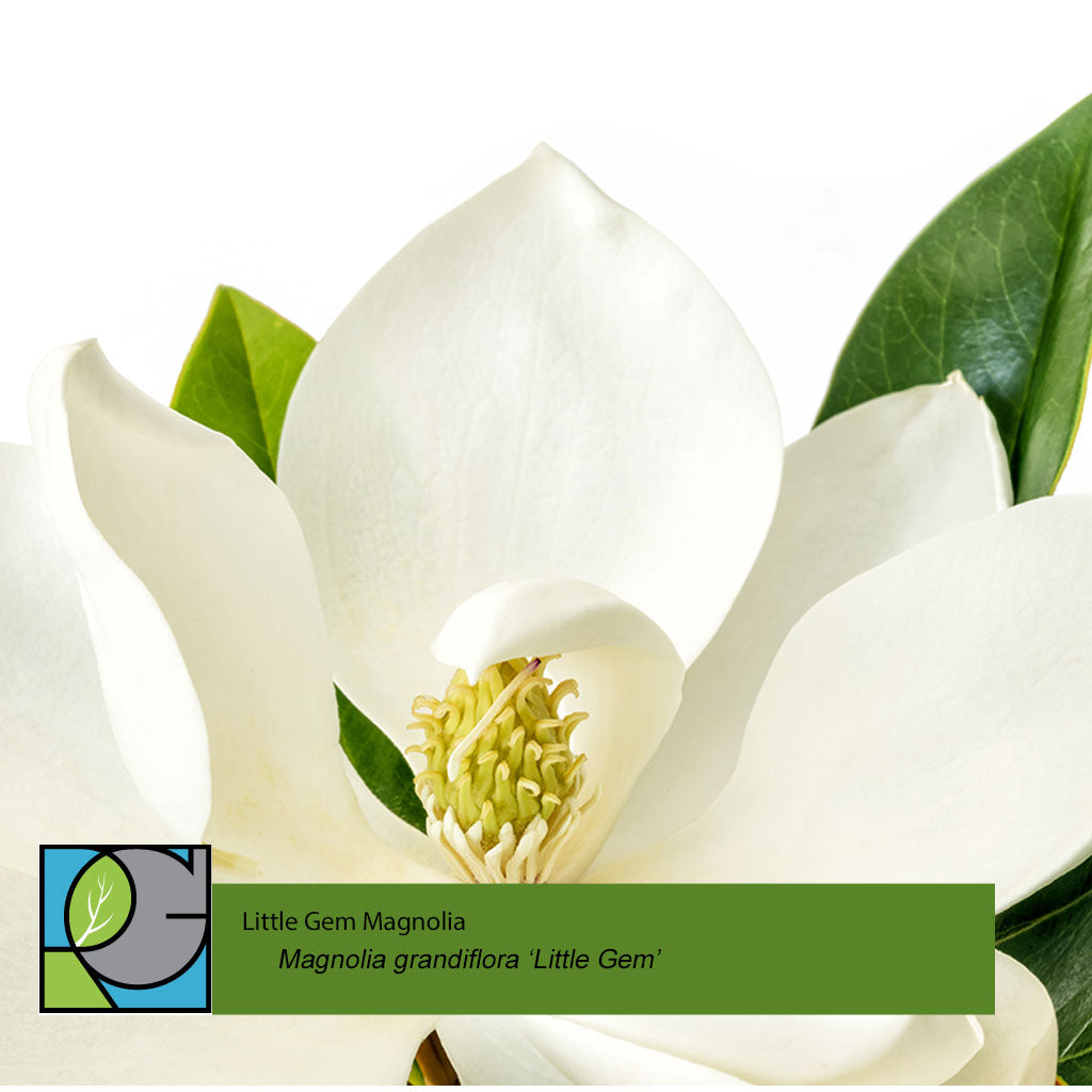 Little Gem Magnolia | Magnolia grandiflora 'Little Gem'