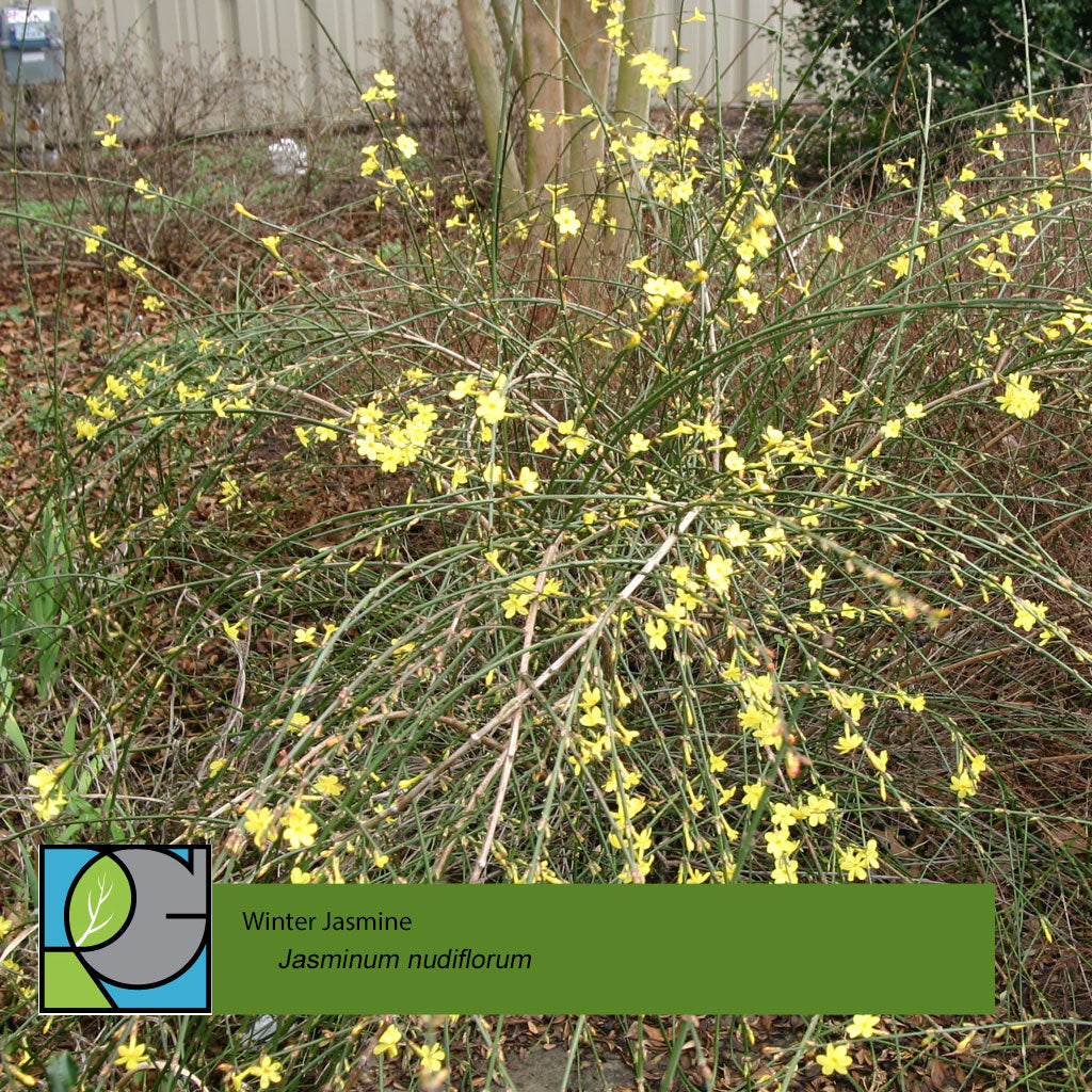 Winter Jasmine | Jasminum nudiflorum