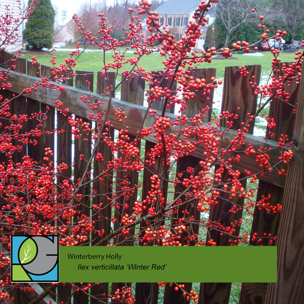Winterberry Holly | Ilex verticillata 'Winter Red'