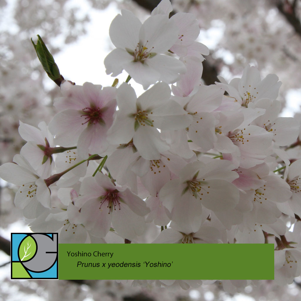 Yoshino Cherry | Prunus x yeodensis 'Yoshino'