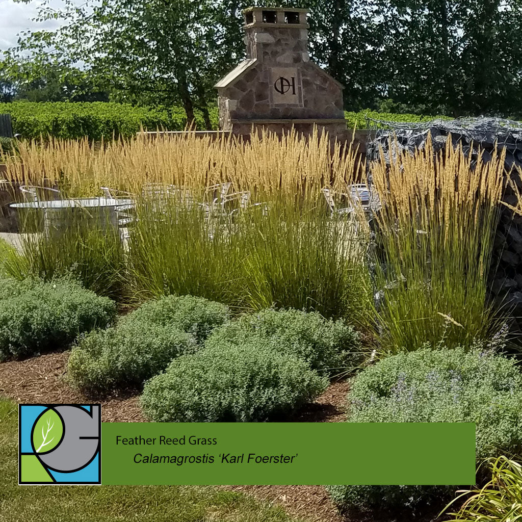 Calamagrostis 'Karl Foerster' | Feather Reed Grass