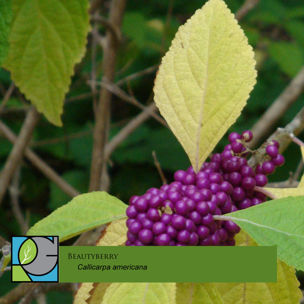 Beautyberry | Callicarpa