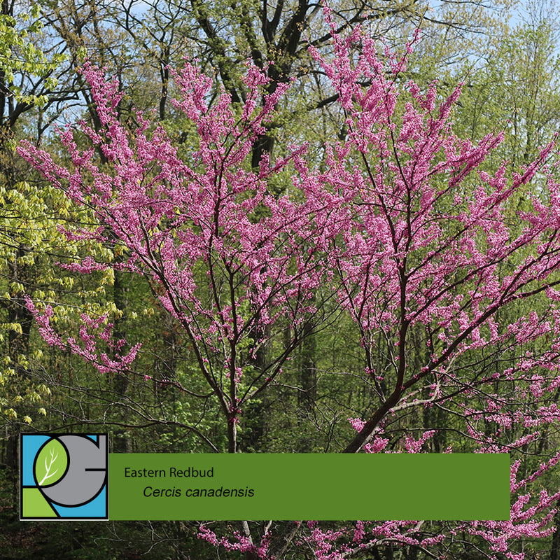 Eastern Redbud Cercis Canadensis The Revolutionary Gardens Shop