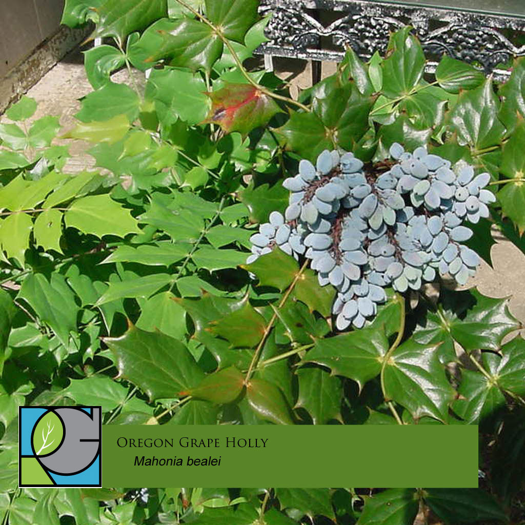 Oregon Grape Holly | Mahonia bealei