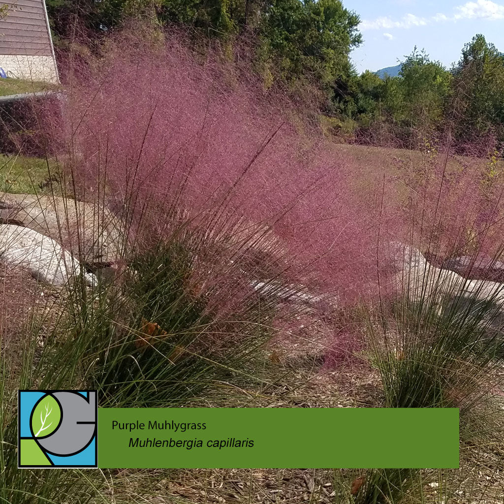 Muhlenbergia | Purple Muhlygrass