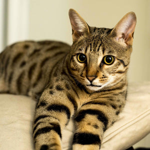 Interesting Facts about the Savannah Cat