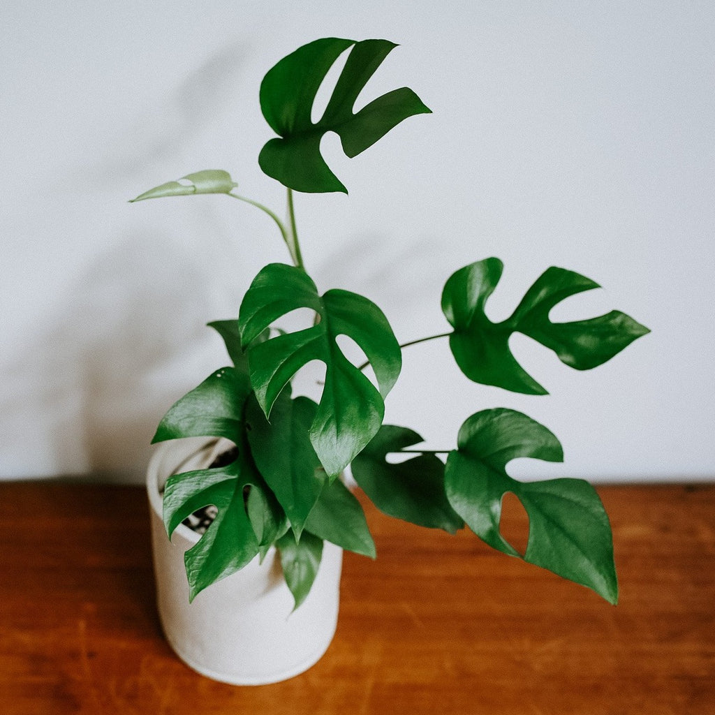 Mini Monstera (Raphidophora Tetrasperma)