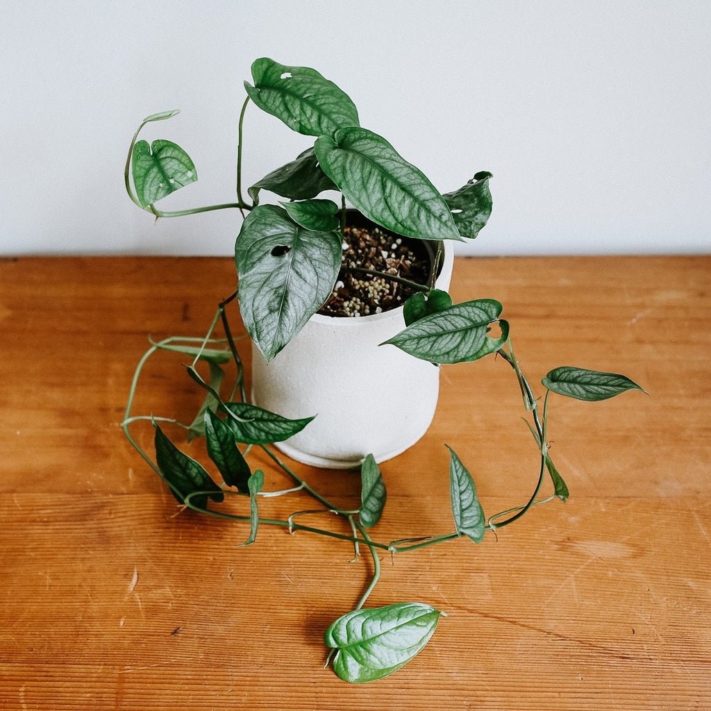 Monstera Siltepecana