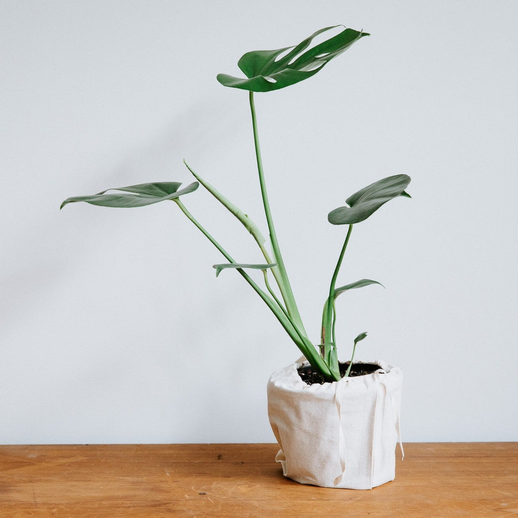 Swiss Cheese Plant (Monstera deliciosa)