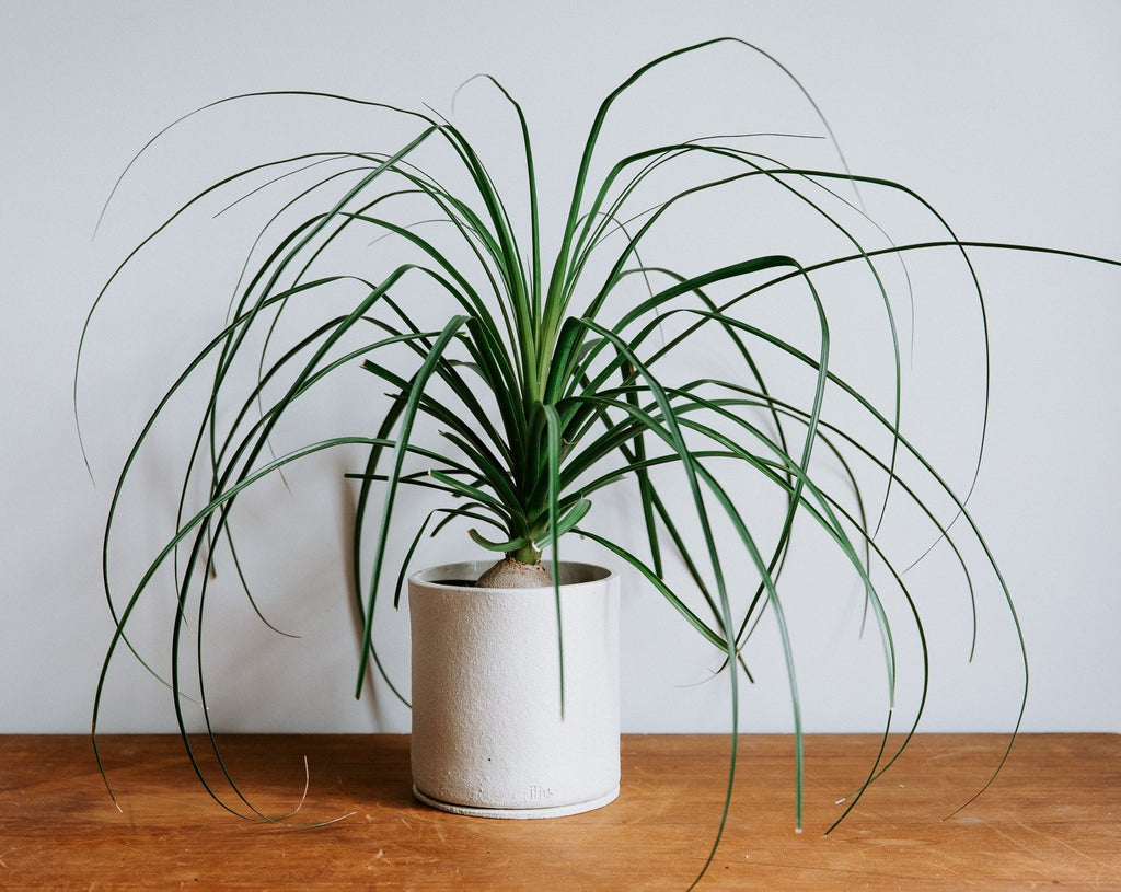 Ponytail Palm, Beaucarnea Recurvata (Caudex)