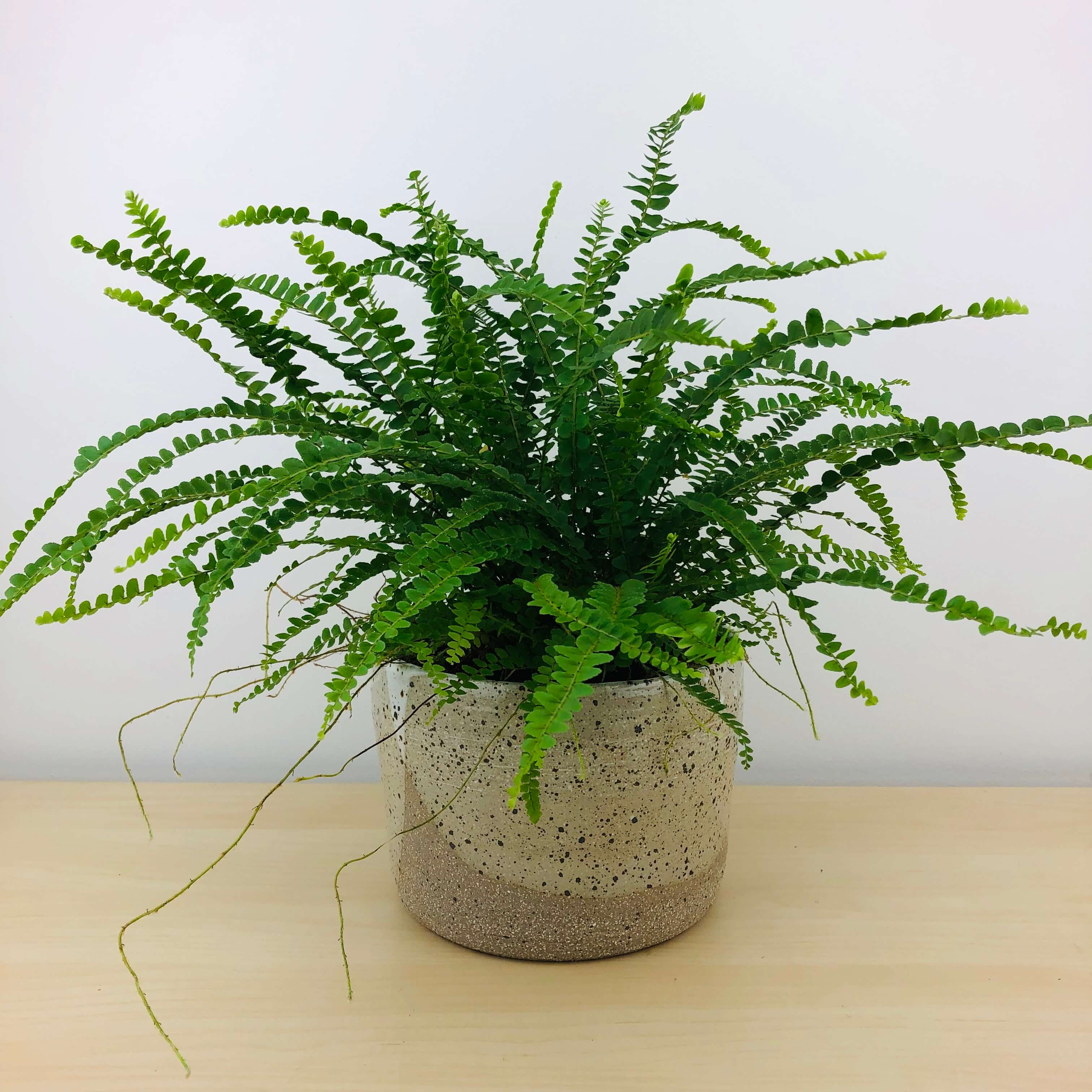 Lemon Buttons Fern Air Purifying Plants Delivered Greenhouse Co