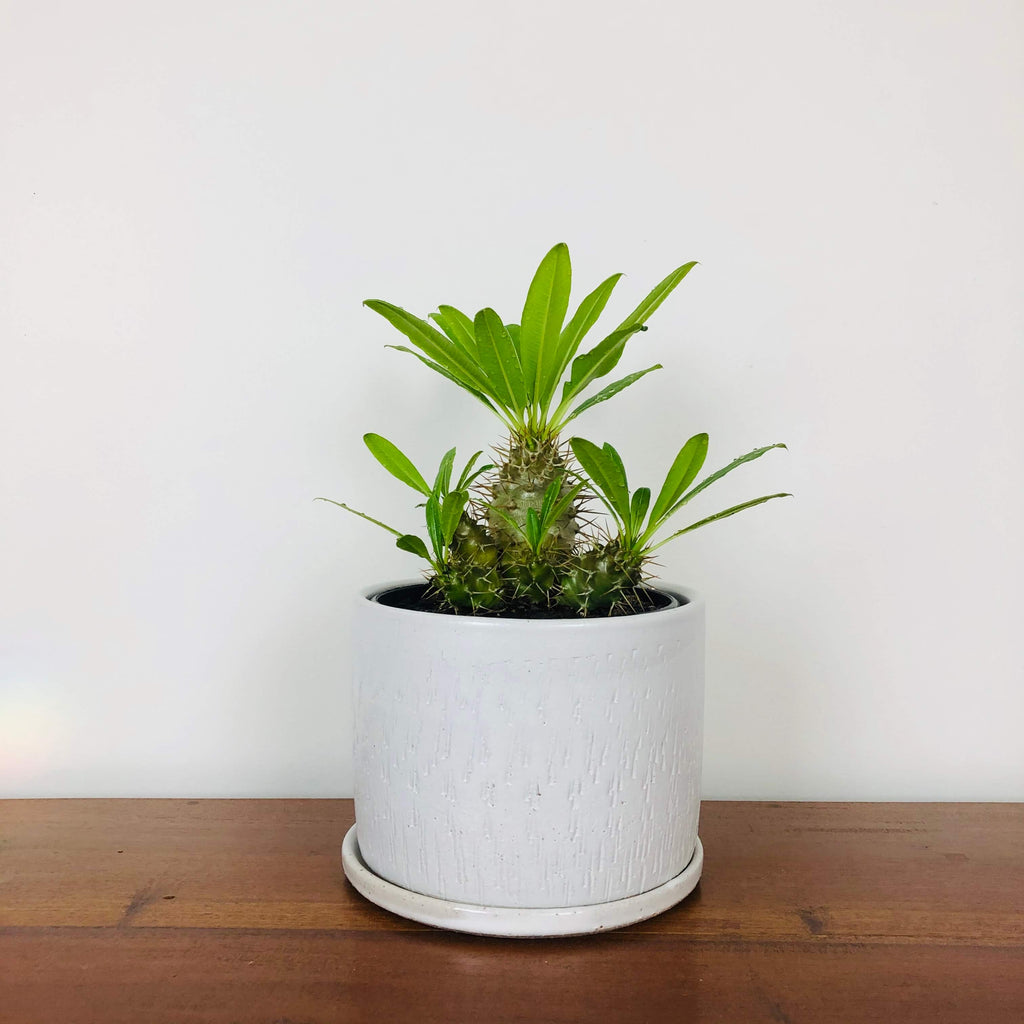 White Wizard Pot with choice of Plant