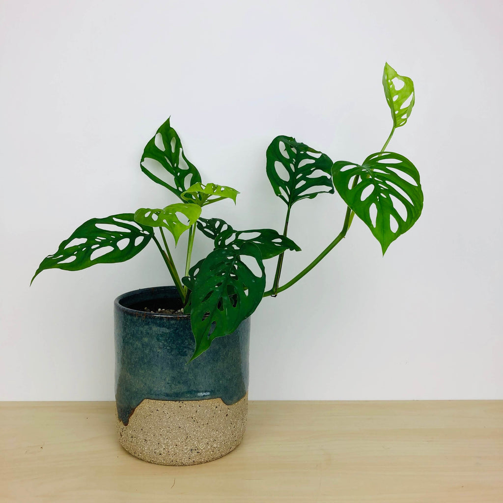 Monstera adensonii