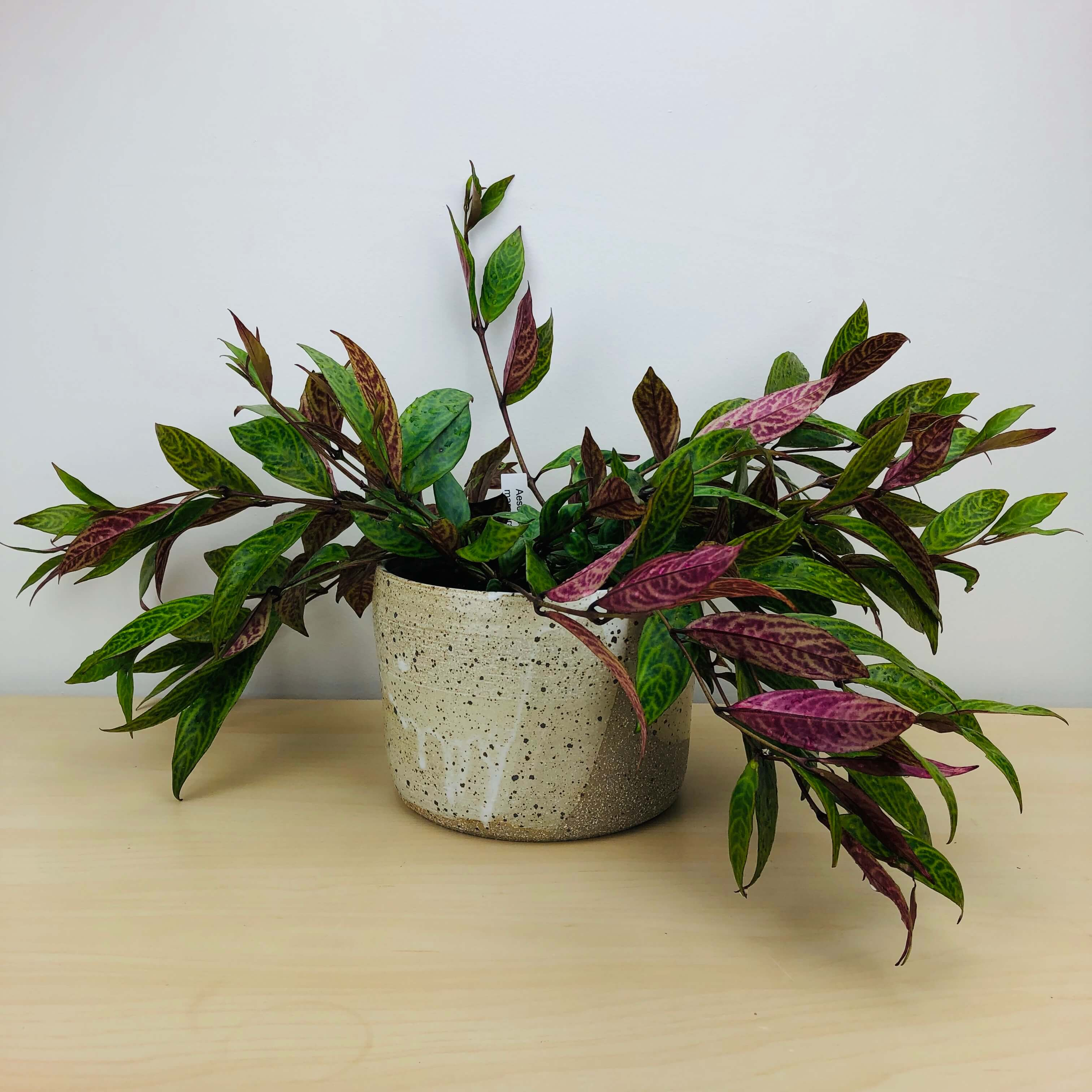 Lipstick Plant Aeshynanthus Marmoratus Indoor Plants Delivered