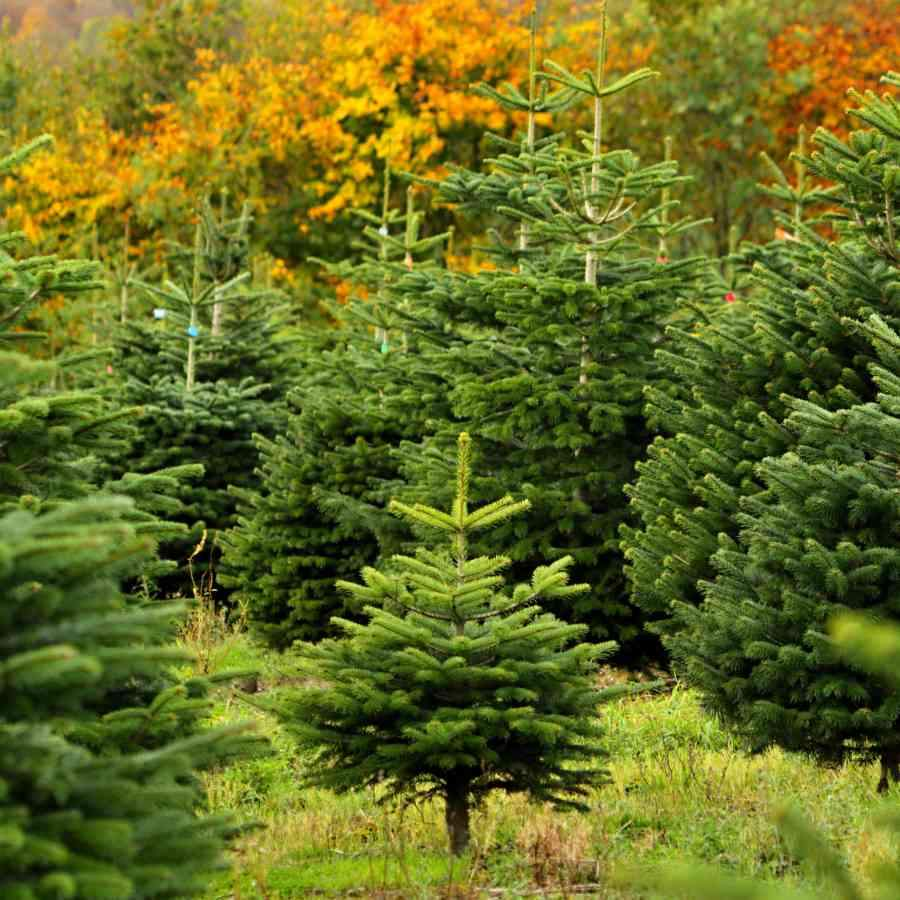 The Ultimate Christmas Tree Care Guide