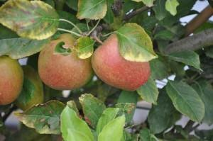 Apple Tree Giveaway Competition - Win a Tree