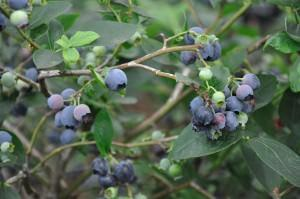 Blueberry Plants – Growing Blueberries