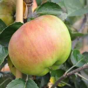 February Tree of the Month 2019 | Bramley Apple Tree