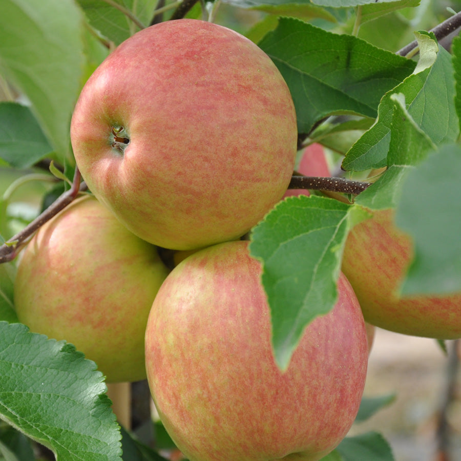 Use Your Apples; Yorkshire Apple Recipe & History Lesson