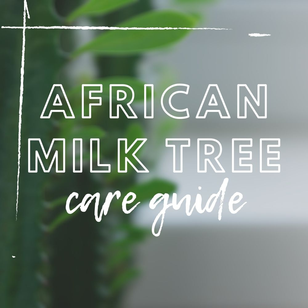 African Milk Tree Care Guide
