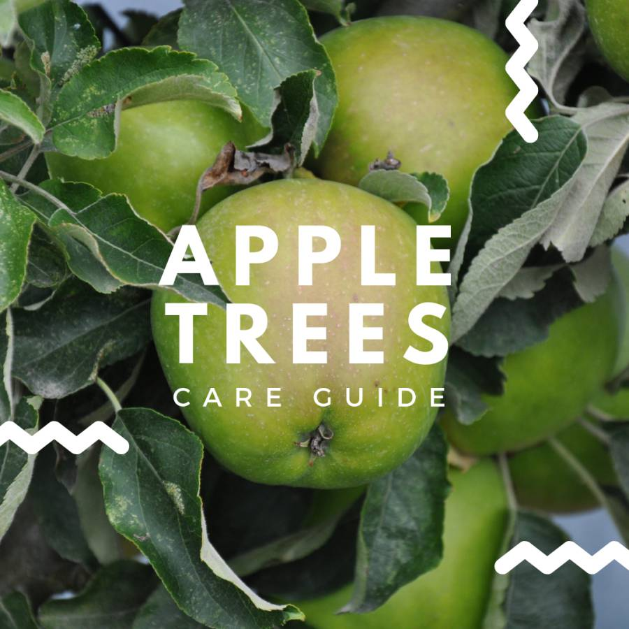 Apple Tree Care Guide