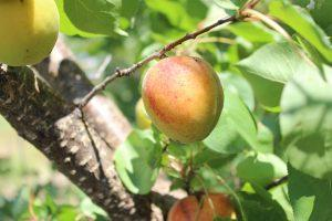 Apricot Tree Care Guide