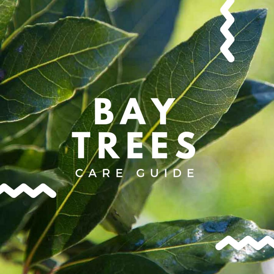 Bay Tree Care Guide