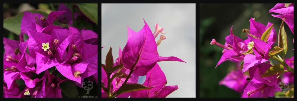 Tree of the Month, April 2015: The Bougainvillea Plant Gift