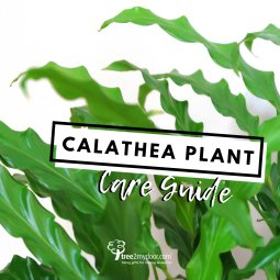 Calathea Plant Care Guide