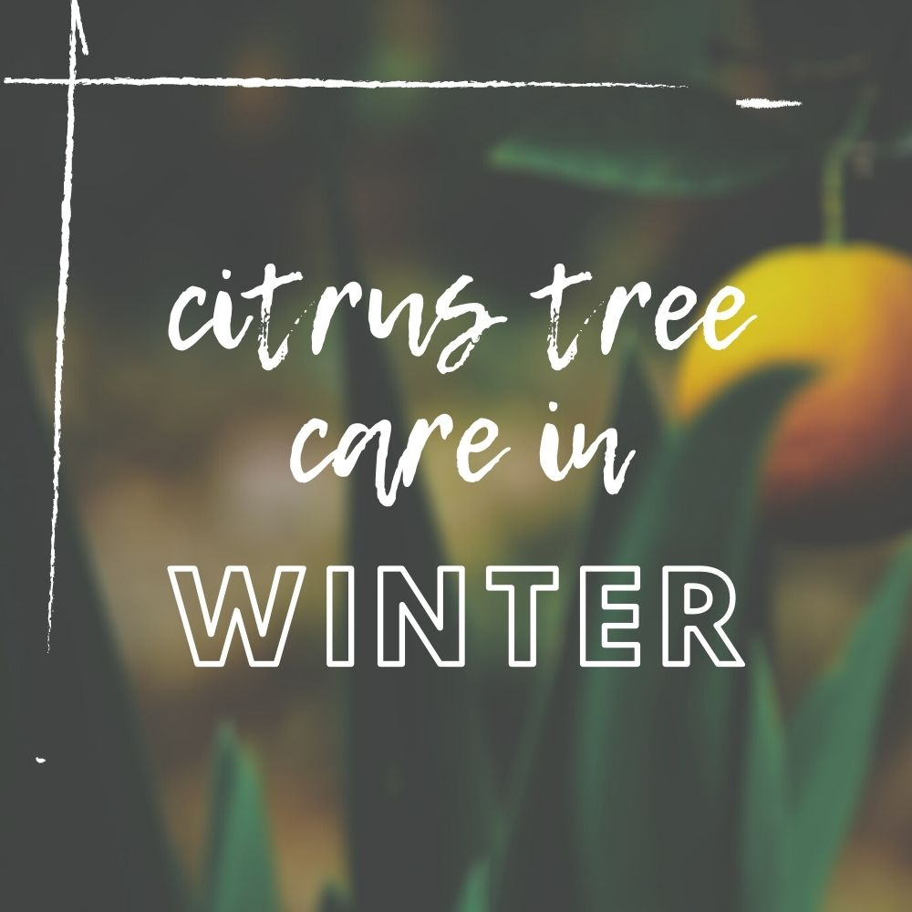 Citrus Tree Winter Care Guide