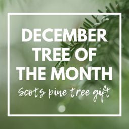 December Tree of the Month 2019 | Scots Pine Tree