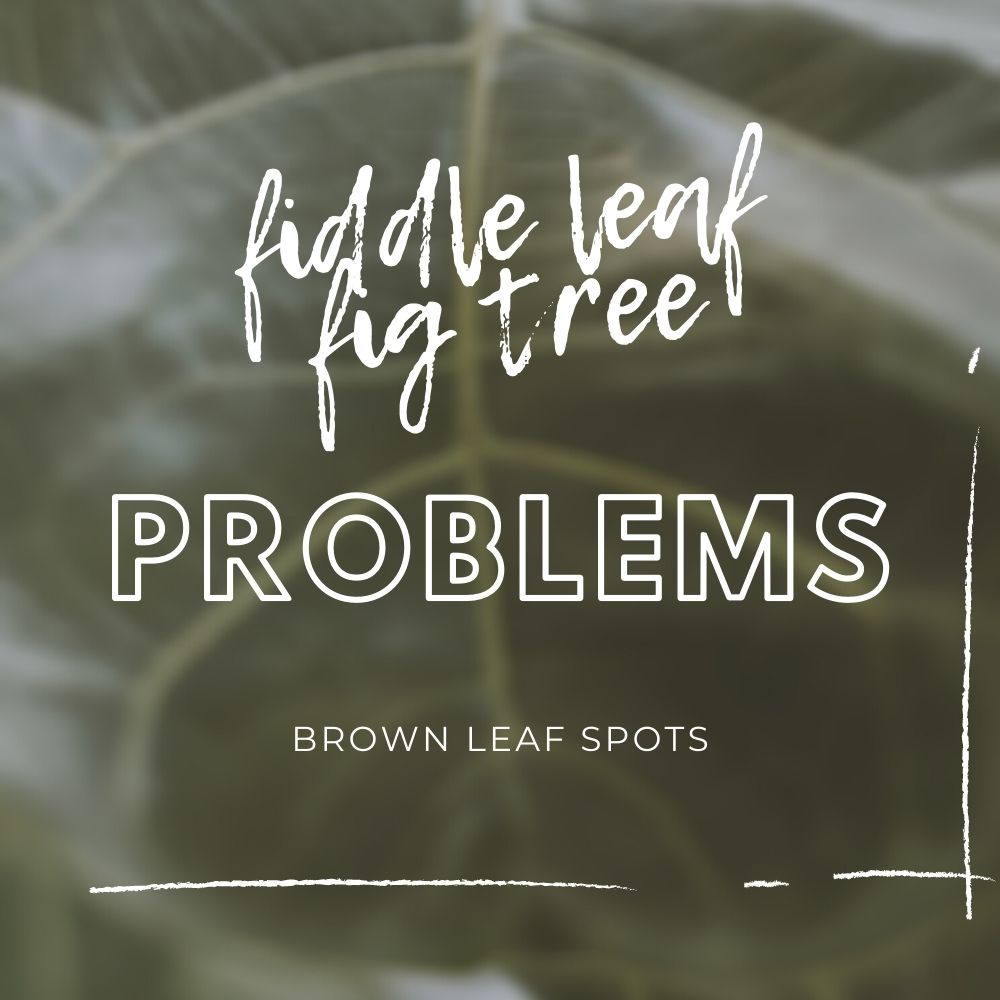 Fiddle Leaf Fig Tree Problems - Brown Spot